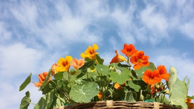 夏に咲くナスタチウム