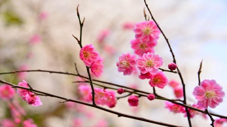 冬に咲く紅梅の花