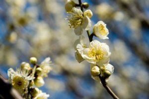 梅の白い花