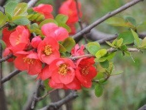 ボケの赤い花