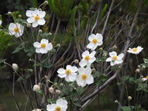 シュウメイギクの花