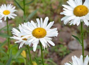 デージーの白い花