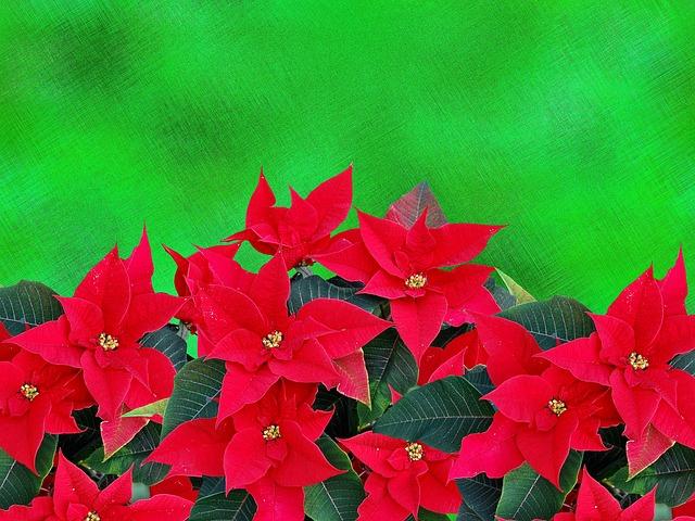 クリスマスの花といえばポインセチア