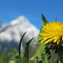 立夏の頃の雪山とたんぽぽ