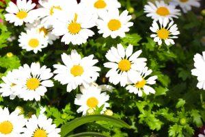 春の花壇のシャスターデージー