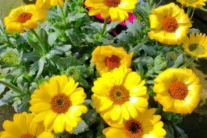 春の花壇のディモルフォセカ