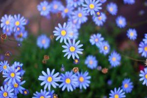 春の花壇のブルーデージ