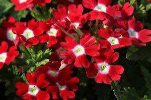 春の花壇のガーベラ