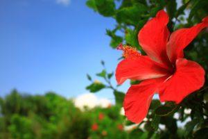 菊草が生まれた奄美大島の花