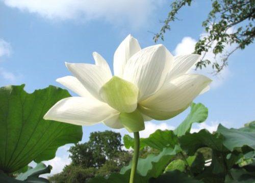 夏に咲く蓮の花