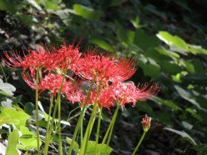 盆花に使われる彼岸花