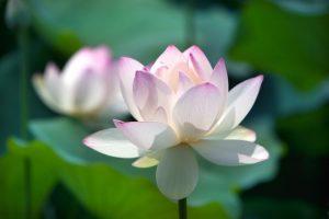 夏に咲く白い蓮の花