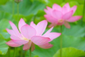 夏に咲くピンクの蓮の花
