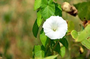 昼顔の白い花