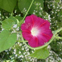 朝顔のピンクの花