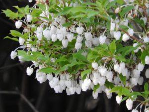 ドウダンツツジの花