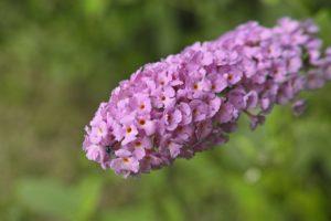ブッドレアの花