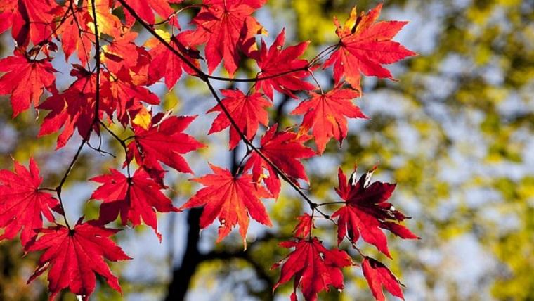 紅葉する樹木
