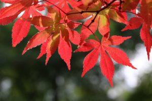 小石川養生所(現在の小石川植物園)の紅葉