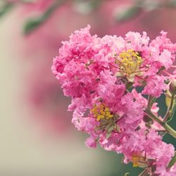 サルスベリの花