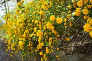 オウバイの黄色い花