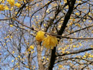ロウバイの黄色い花