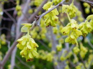トサミズキの黄色い花