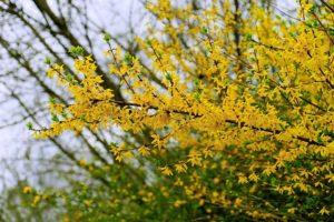 レンギョウの黄色い花