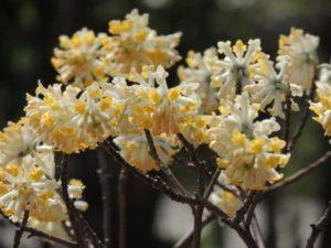 ミツマタの白っぽい黄色の花