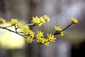 サンシュユの黄色い花