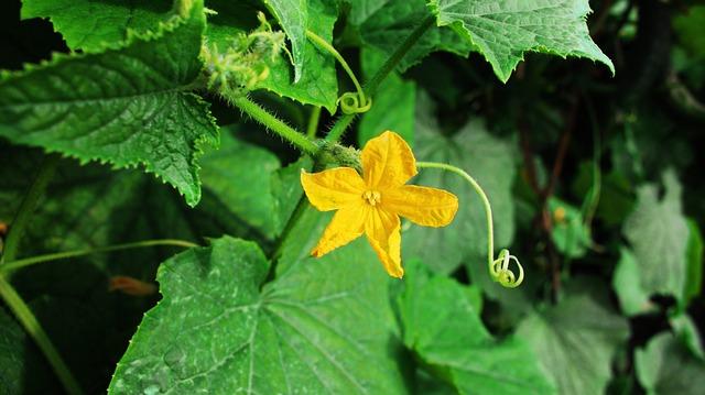 かぼちゃの花