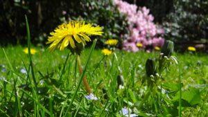 春に咲くタンポポ