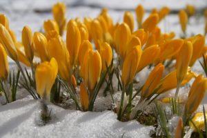 クロッカスの黄色い花