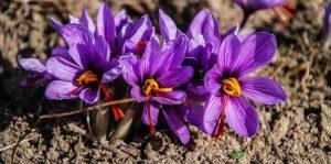 サフランの紫色の花