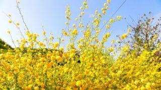 春の黄色い花