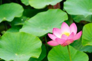6月に花を咲かせる蓮
