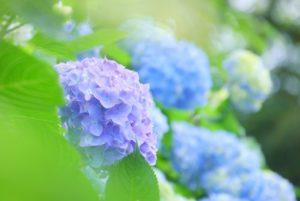 6月に花を咲かせる紫陽花