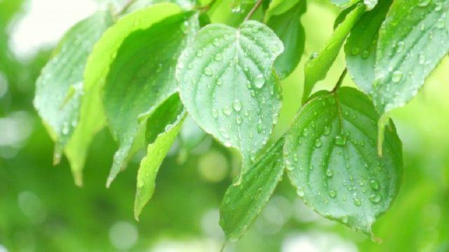 6月の雨に濡れた若葉