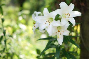 6月に花を咲かせるユリ