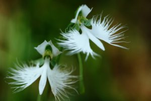 夏の七草の鷺草