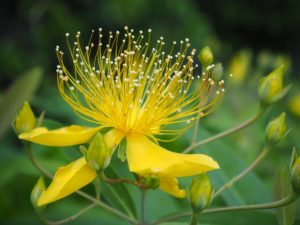 梅雨の時期に咲く花の美容柳