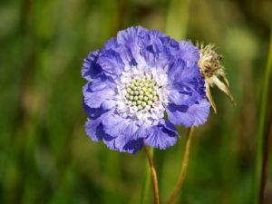 梅雨の時期に咲く花の西洋松虫草