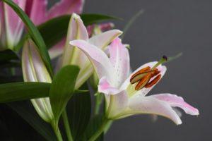 梅雨の時期に咲く花の百合