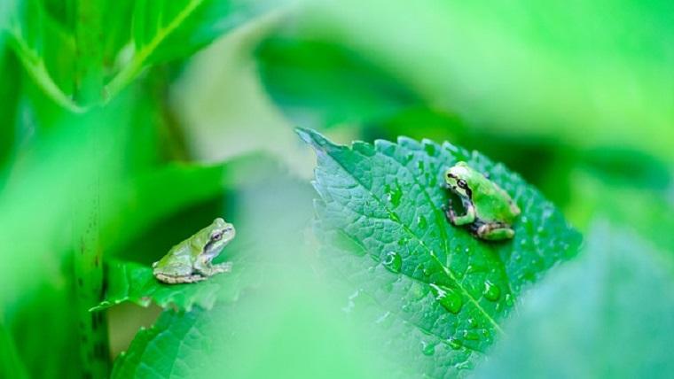 梅雨の頃に活動するカエル