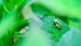 梅雨の頃に活発に活動するカエル