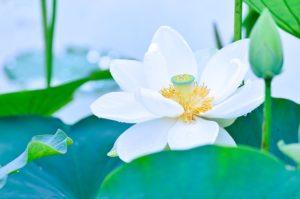 梅雨の頃に咲く蓮