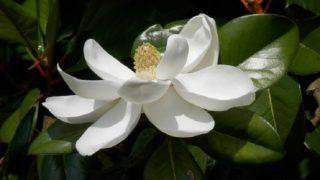 梅雨の頃に咲く泰山木