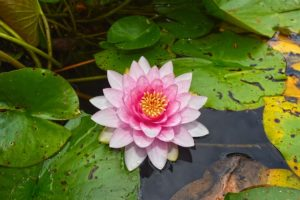 梅雨の時期に咲く花の睡蓮