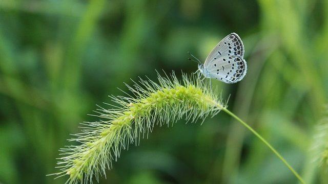 夏の雑草のエノコログサ