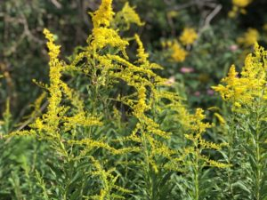 夏の雑草のブタクサ